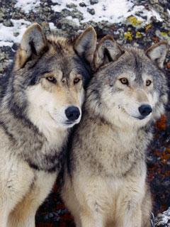ВОЛКИ Волки вскармливали человеческих детей