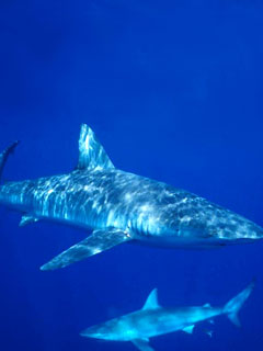 Миф акулы очень опасны для человека