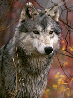 Миф Волки охотятся стаями