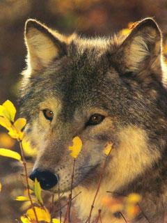 Миф Волки нападают на людей