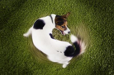 Заблуждение Если собака виляет хвостом она радуется