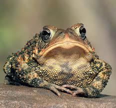 Миф После прикосновения к жабе появляются бородавки