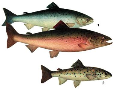 Рыб лосось и форель не существует